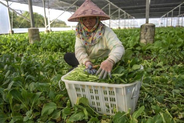 Província insular de Hainan, na China, efetua diversos serviços para garantir fornecimento de vegetais em meio à epidemia. Foto: Xinhua/Divulgação